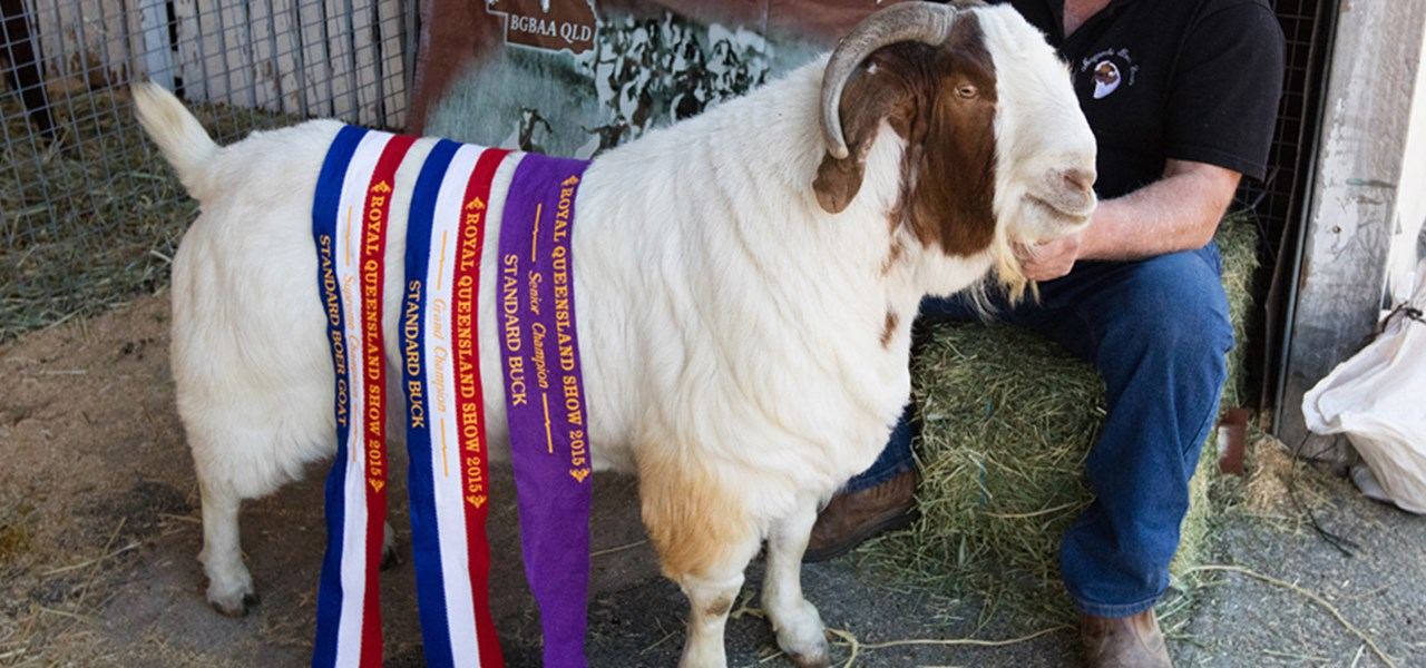 Boer Goat Judging - Group Classes