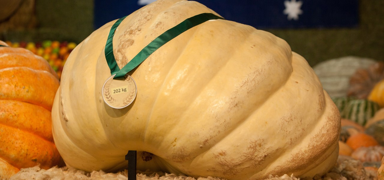 Giant Pumpkin Competition
