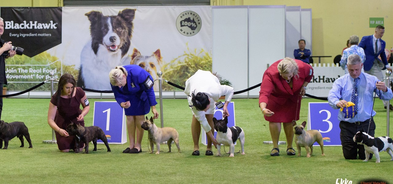 Canine Judging - Boston Terrier, British Bulldog, German Spitz, Peruvian Hairless Dog & Xoloitzcuintle Hairless Do